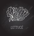 hand drawn lettuce vector image