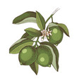 hand drawn blooming lime branch with ripe fruits vector image