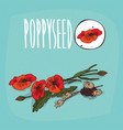 set of isolated plant poppyseed flowers herb vector image vector image