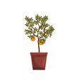 kumquat indoor house plant in brown pot element vector image