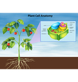 Anatomy plant cell vector image vector image