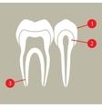 Diagram of teeth vector image vector image