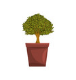 portulacaria indoor house bonsai tree in brown pot vector image vector image