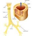 trachea vector image vector image