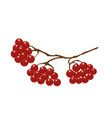 viburnum berries on tree branches vector image