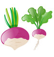 radish heads on white background vector image
