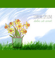 bouquet of yellow daffodiles green grass and blue vector image vector image