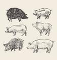 drawn pigs mangalica pork restaurant menu vector image vector image