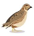 common quail bird vector image vector image