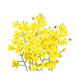 rapeseed flowers bunch isolated on white vector image vector image
