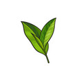 sketch cartoon tea leaves branch isolated vector image vector image