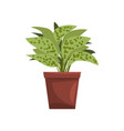 dieffenbachia indoor house plant in brown pot vector image vector image