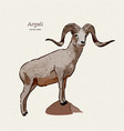 argali or mountain sheep species ovis vector image