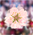 cherry blossom blurry background vector image vector image