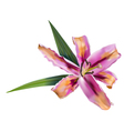 Pink lily flower vector image vector image