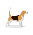 cute beagle icon small hunting dog with white and vector image