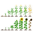 corn plant and sunflower plant growing stages vector image vector image