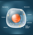 anatomy of animal cell vector image vector image