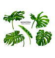 tropical monstera leavesset plants isolated on vector image vector image