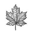 ink sketch maple leaf vector image vector image