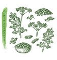 sketch cumin plant seeds herb and spice seasoning vector image vector image