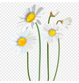 chamomile flower seamless pattern vector image