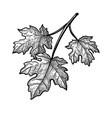 ink sketch maple branch vector image vector image