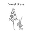 sweet or holy grass hierochloe odorata vector image