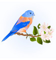small thrush bluebird songbirdon on a apple trre vector image vector image