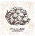 digital cauliflower hand drawn vector image vector image