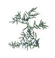 Hand drawn juniper brunch vector image