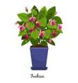 fuchsia plant in pot vector image vector image