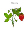 garden strawberry fragaria ananassa vector image vector image