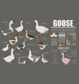 Poultry farming infographic template goose