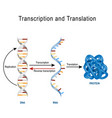 dna replication protein synthesis transcription vector image vector image