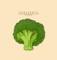 fresh green broccoli vector image vector image