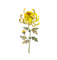 yellow chrysanthemum flower floral design vector image vector image