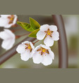 cherry flowers realistic branches spring vector image vector image