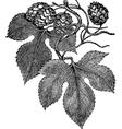 Common Hop vector image vector image