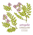 astragalus set vector image