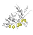 hand drawn branch with green olives vector image vector image