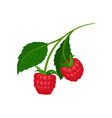 two juicy raspberries hanging on sprig with green vector image