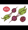 collection of hand drawn colored beet vector image