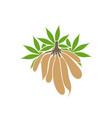 cassava vector image