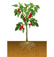 jalapeno pepper plant vector image vector image
