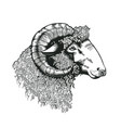 head of ram hand drawn in antique etching style vector image vector image