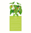 chile pepper plant colorful vector image