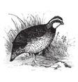 bob white quail vintage vector image vector image