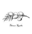 hand drawn of elaeocarpus hygrophilus on white bac vector image vector image