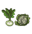cabbage and beets vector image